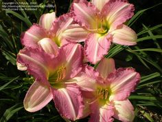Daylily, Hemerocallis 'Claimed Blessing '  I purchased one this year , mine has 3 blossom ! Thought it would b a little more purple tint , but it's kinda pinkish .