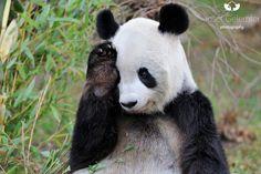 Mister Shy Panda - by Josef Gelernter