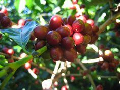 Coffee farm ...