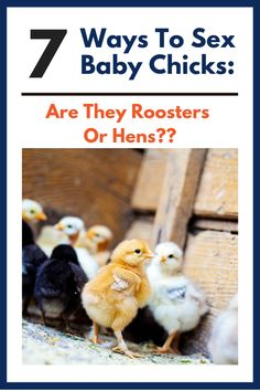 How to tell if a chicken is a rooster? Discover how to sex chickens at 4 weeks old. Raising Backyard Chickens, Baby Chickens, Keeping Chickens, Bantam Chicken Breeds, Bantam Chickens, Chickens And Roosters, Chicken Garden, Backyard Chicken Coops, Australorp Chicken