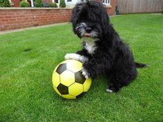 """Messi mi Ronaldog mu? :) İngiltere'deki iki yaşında kurtarma köpeği Alfie yeteneklerine bir yenisini daha ekledi. Alfie etkileyici futbol becerisi nedeniyle artık """"Ronaldo"""" ismiyle çağırılmaya başladı. Detaylar ajanimo.com'da.. #ajanimo #ajanbrian #dog #köpek #football #futbol"""