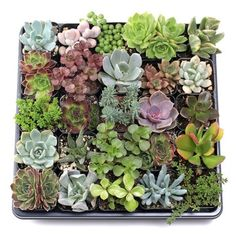 Shop for MCG Super Succulent Sampler Tray - Containers - 25 Varieties Get free delivery On EVERYTHING* Overstock - Your Online Flowers & Plants Outlet Store! Succulent Favors, Succulent Centerpieces, Succulent Terrarium, Succulent Arrangements, Purple Succulents, Hanging Succulents, Succulents Garden, Indoor Succulents, Growing Succulents