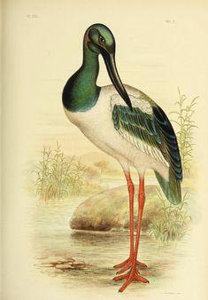 Biodiversity Heritage Library BioDivLibrary - Black-necked stork