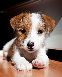 Parson Russell Terrier - dogs-Parson Russell Terrier – Hunde jack russell more - Perros Jack Russell, Jack Russell Puppies, Mini Jack Russell, Parson Russell Terrier, Jack Russell Terriers, Pet Dogs, Dog Cat, Pets, Doggies