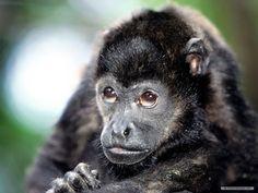 primates | Free Animal Primates HD Wallpaper