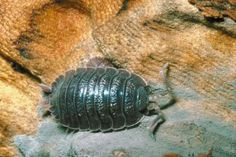 Roly Poly Bug Facts