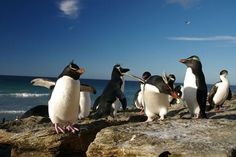 """""""The mine fields in the Falkland Islands have become de facto penguin sanctuaries. Penguins are too light to set off the mines, and so about one million penguins have taken up residence there. National Geographic Photography, Bbc Tv Shows, Endangered Species, Antarctica, One In A Million, Pacific Ocean, Polar Bear, South America, Fun Facts"""