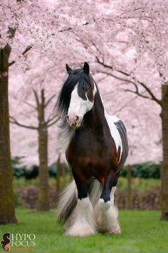 beautiful photo of a Gypsy Vanner