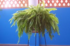 "Aca les presento ami querido e inmortal HELECHO, rescatado de la recepcion!!! jiijjji    <span class=""... Bob Patiño, Fern, Receptions, Plants"