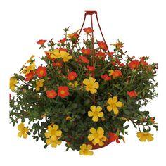 Varios colores. Planta sol. Riego 3 veces por semana. Maceta grande 20 cm diámetro.
