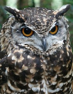 By catz2  #Cape Eagle-Owl