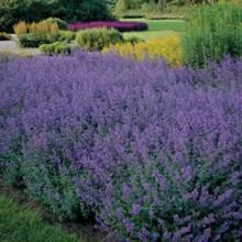 Nepeta plants (or Catmint, as they are commonly know) are rugged, easy-to-grow garden perennials that thrive in harsh landscapes. Catmint (Nepeta) plants are hardy and long-lived, and an invaluable source of nectar and pollen for honey bees. Knockout Rose Tree, Hydrangea Tree, Hydrangea Shrub, Limelight Hydrangea, Hydrangeas, Evergreen Shrubs, Flowering Shrubs, Bloomstruck Hydrangea, Plants