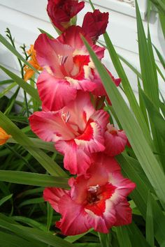 Gladiola  Beautiful flowers.  The Incensewoman