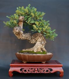Četiri omiljena bonsai drveta
