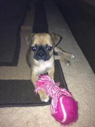 Coco: Pug, Dog; Bisbee, AZ