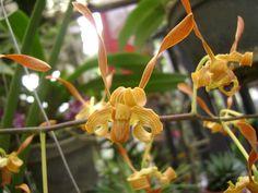 Dendrobium Indonesia Emas (gold)