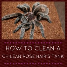 How to clean a Chilean Rose Hair's tank
