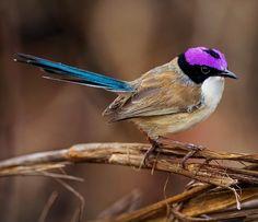 Purple-Crowned fairy wren.