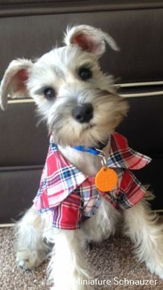 Schnauzer pup all dressed up! Schnauzer pup all dressed up! Schnauzer Mix, Miniature Schnauzer Puppies, Schnauzers, Dog Pictures, Animal Pictures, Cute Puppies, Cute Dogs, Most Popular Dog Breeds, Beautiful Dogs