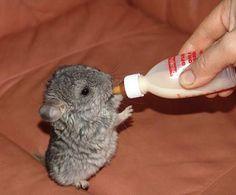 Baby chinchilla... Keep feeding him, I need a new pair of socks