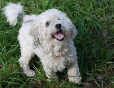 Meet Doodles, a Petfinder adoptable Bichon Frise Dog | Sultan, WA | Meet Doodles! Doodles is a fantastic little guy. He is loyal and loving to his family, he follows...