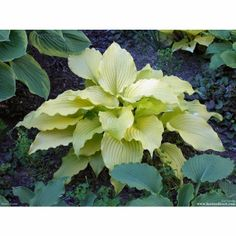 'Dancing Queen' is a true yellow Hosta that will stand out in any shade garden.  This large, wide Hosta is exquisitely quilted and has bright gold leaves in spring that turn a lighter shade as the season progresses.  The heavily rippled foliage is held elegantly up and out from the center of the plant.  'Dancing Queen' eventually reaches 18 inches high and spreads about 30 inches wide.
