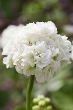 """Kruununprinsessa Mary"" on vuosi Geranium 2017   Dream Home & Garden"