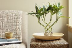 How to grow, trim and shape lucky bamboo plants, including tips on light, watering, temperature and troubleshooting yellowing and diseased plants.