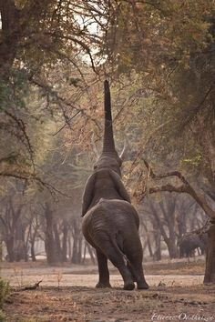 awesome photo - Elephant stretchs to reach top branches Beautiful Creatures, Animals Beautiful, Elephant Afrique, Elephas Maximus, Funny Animals, Cute Animals, Wild Animals, Baby Animals, Elephants Never Forget