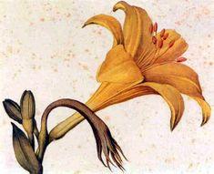 Jacopo Ligozzi: Hemerocallis Flavus