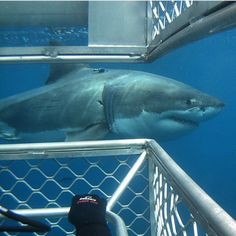 uuuuuuuuh. who is near you? The Great White, Great White Shark, Shark Photos, Shark Pictures, Orcas, Save The Sharks, Types Of Sharks, Shark Facts, Giant Animals