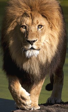 Leo (forum for nature photographers) Beautiful Lion, Animals Beautiful, Cute Animals, Lion Images, Lion Pictures, Lion Photography, Lions Photos, Lion And Lioness, Big Cats