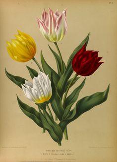 Tulipa hort. circa 1881