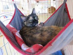 こう見えても実は人なつこい、さび猫あきちゃん 里親さん募集中です - http://iyaiyahajimeru.jp/cat/archives/59950