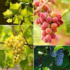 Grapes on vine sunny day collage Stock Photo