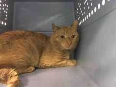 Pulled by Feline Rescue of Staten Island* TO BE DESTROYED 3/29/15 *NYC* ADORABLE FRIGHTENED GUY! * Brooklyn Center * Peanuts was displaying behaviors that prevent placement in the adoptions room and may require further investigation before placement in a home. Please foster, adopt or pledge to save poor Peanuts now!! *   My name is PEANUTS. My Animal ID # is A1031095. I am a male org tabby dom sh mix. I am about 3 YEARS old.  I came in as a STRAY on 03/23/2015 from NY 11206