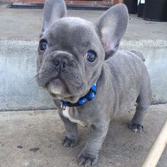 https://instagram.com/p/0kvPQgnfSX/?taken-by=bluefurbullies_richard #FrenchBulldog #Frenchies