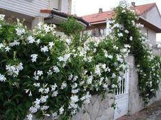 exterior que aguantan el frío del invierno 1 LAS PLANTAS DE EXTERIOR QUE AGUANTAN EL FRÍO DEL INVIERNO 1.1 1.Col ornamental 1.2 2. El Jazmín 1.3 3. Violeta persa (Cyclamen persicum) 1.4 4. Crisantemo (Chrysanthemum) 1.5 5. Acebo (llex aquifolium) 1.6 6. Cotoneáster 1.7 7. Heléboro 1.8 8. Galantus 1.9 9. Durillo 1.10 10. Hebe 2 CUIDADOS DE LAS PLANTAS DE EXTERIOR QUE AGUANTAN EL FRÍO DEL INVIERNO 3 FOTOGALERÍA PLANTAS DE EXTERIOR PARA INVIERNO