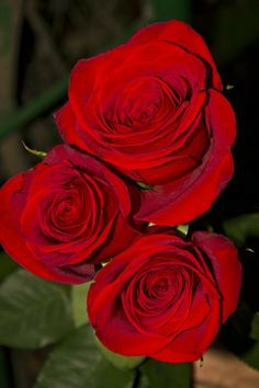 Beautiful Rose Flowers, Amazing Flowers, Red Flowers, Pink Roses, Rose Images, Rose Pictures, Roses Only, Aesthetic Roses, Rainbow Roses