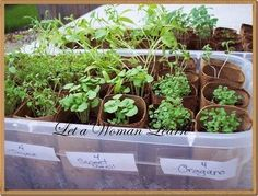 Great idea for starting herb plants off...toilet paper roll herbs