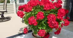 I have an easy way to save your geraniums from year to year. In mid September to early October cut back geranium and place container in a large garbage bag in y…