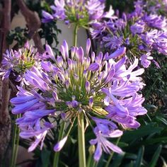 @Ennie Gonzaga  This beauty is Agapanthus- this was the flower in most of the blueprint shots you sent me. It's especially impressive when planted in a row of 3 or more...