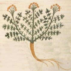 In 1400 an orange rooted illustration of Pastinaca appeared in an Italian herbal, Herbarium Apuleii, Lombardy.