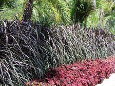 pennisetum purpureum vertigo - Sök på Google