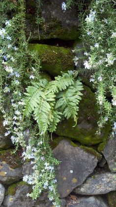 ferns and flowers growing from the cracks between the stones - just lovely!