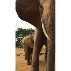David Sheldrick Wildlife Trust (@dswt) on Instagram || #DSWT graduate orphan Emily and baby Emma! Although mother and daughter live in the wild, they're frequent visitors at our Voi Reintegration Unit. While her mum is busy saying hello her old #DSWT human/elephant family, little Emma seems more interested in enjoying a leisurely feed! Video © David Sheldrick Wildlife Trust