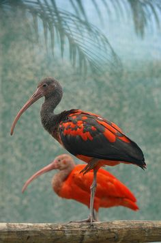 Anything Avian — x-enial: Scarlet Ibis from South America Kinds Of Birds, All Birds, Love Birds, Angry Birds, Weird Birds, Pretty Birds, Beautiful Birds, Animals Beautiful, Animals Amazing