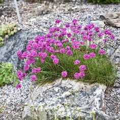 Alpine Rock Garden With Perennial Thrift (also Know As Sea Pink ...