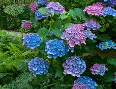 Hydrangea 'Blue Danube'