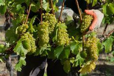 1st pick of the 2014 #harvest. #chardonnay fruit for our new sparkling #wine #gibbstonvalley #nzwine